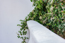 A Large Green Shrub In Early Autumn And Late Summer With Interesting Fluffy And Shaggy Inflorescences. Beige Down On A Leafy Bush Hangs Over A White Wall