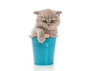 Lop-eared British Kitten Sitti...