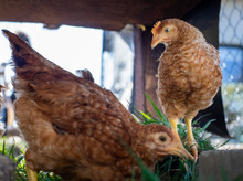 Dominant Red Barred Chicken Lo...