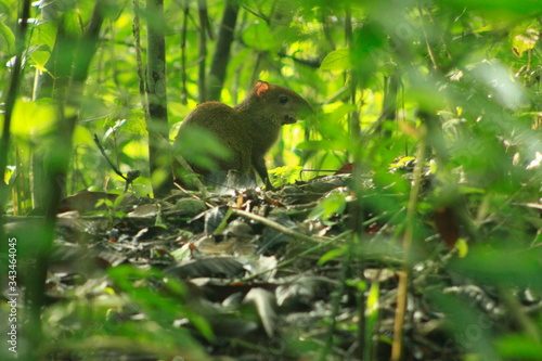 Agouti Amidst Plants On Field Canvas Print