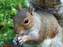 Close-up Of Squirrel Eating Nuts