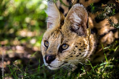 Close-up Of Serval On Field Fototapeta
