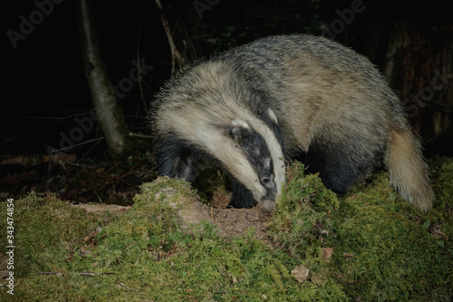 Photo Dog badger foraging for insects