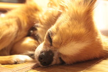 Close-up Of Chihuahua Sleeping On Floor At Home
