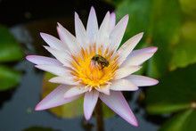 Large White And Yellow  Waterlily Flower With A Big Beetle Inside, Stained With Pollen