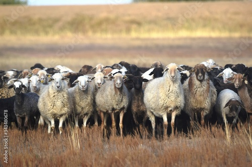 Photo Domestic sheep (Ovis aries) - artiodactyl mammal from the genus of sheep, the family polorogih graze in the steppe in autumn