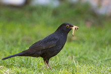 Male Blackbird With Grubs. Garden Bird Collecting Insect Food.