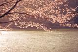 湖畔の桜 - 343485866