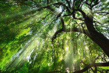 Rays Of Light Falling Through A Majestic Green Tree And Wafts Of Mist, A Beautiful Worms Eye View Perspective