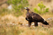 Majestic Golden Eagle, Aquila Chrysaetos, Sitting On Meadow With Blurred Green Trees In Background. Strong Bird With Brown Feathers And Fierce Look Facing Camera. Wild Animal In Wilderness.
