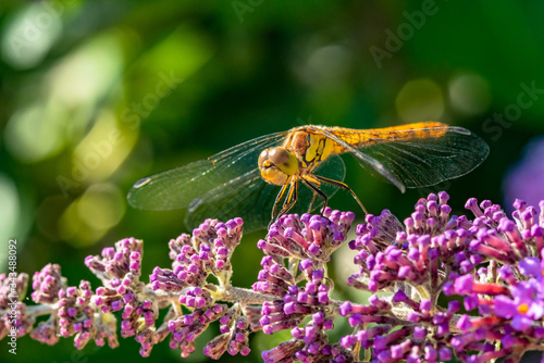 Fényképezés Close-up of a common darter  dragonfly which has landed on the purple flower of