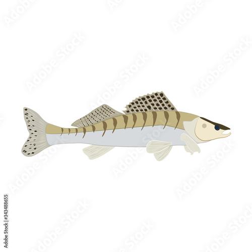Zander fish wild nderwater predator vector illustration Wallpaper Mural