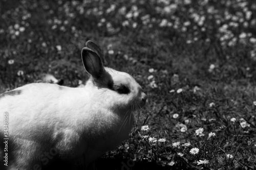 Photo White rabbit cute wait awake black and white