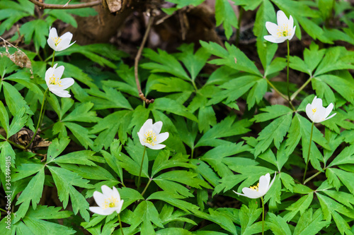 White forest anemones in the forest - wood anemone, anemone Wallpaper Mural
