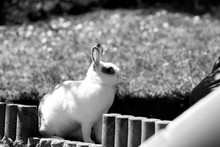White Rabbit Cute Wait Awake B...