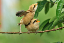 Two Little Birds, Lanius Schach