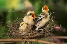 Three Little Birds, Lanius Sch...