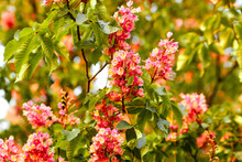 Blooming Red Chestnut Trees In Spring, Bright Against The Sky. Symbol Of Kiev In Ukraine. Nature Background. Soft Focus. Boke. Close-up