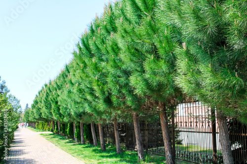 Valokuva Alley of pines, trees stand exactly beautifully in a row along the road for peop