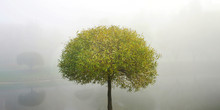 Willow Tree With Curly Crown And Green Thin Leaves On Bank Of River In City Park In Early Morning In Foggy Weather