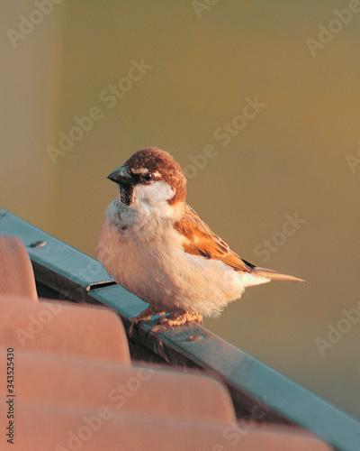 Stampa su Tela Passero comune o passero domestico