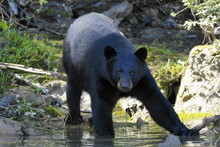 Black Bear Standing On Rock By Water
