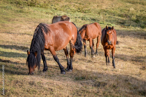 Auvergne horse, horse mare and foals grazing in french summer countryside Canvas Print