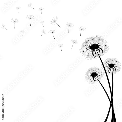 Delicate dandelions on a contrasting white background with flying fluffs. Unique images of dandelions in the lower right corner. Vector illustration. Stock Photo. - 343545477