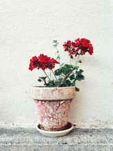 Red Geranium Flowers Growing In Pot By Wall