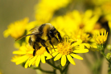 Close-up Of Bumblebee Pollinating On Yellow Daisies
