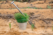 Green Seedlings Of Trees In A Bucket. Tool For Planting Trees. Planting Pine Trees On The Site Of A Cut Down Forest. Forestry.