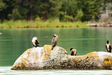 Four Wild Ducks On A Rock