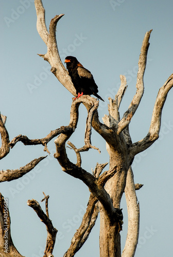 Photo Bateleur sitting atop dead tree branch, South Africa