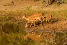 Nyala Female Buck And Young Drinking At Watering Hole, South Africa