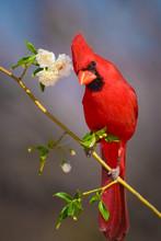 Close-up Of Curious Cardinal Bird Perching On Twig