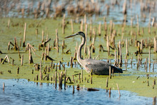 Blue Heron Fishing Among The Dead Cattails And Duckweed In The Horicon National Wildlife Refuge,Wisconsin
