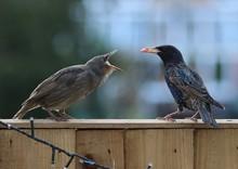 Close-up Of Starlings Perching...