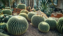 Echinocactus Grusonii Cactus Growing On Field