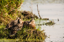 Female Mallard Ducks Resting O...