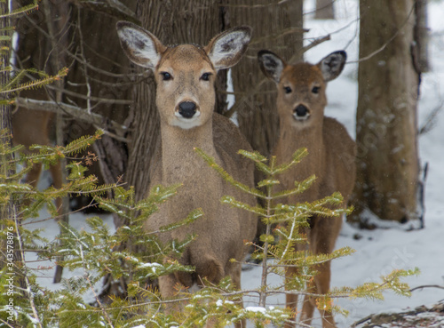 Cute White tailed Deer doe in snow with fawn looking at you Wallpaper Mural