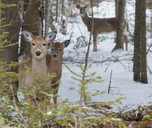 Cute White Tailed Deer Doe In Snow With Fawn Looking At You