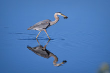 Great Blue Heron With Fish In ...