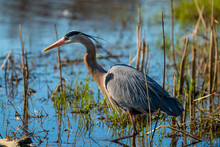 Great Blue Heron (Ardea Herodias) In Wetland Environment.