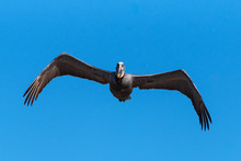 Seeing Eye To Eye With The Brown Pelican As It Soars Straight Ahead With Bent Wings.
