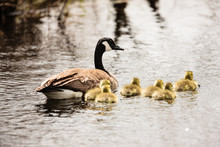 Mother Canada Goose And Its Goslings Swimming In The Shallow Water Of The Horicon National Wildlife Refuge, Wisconsin