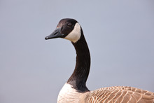 Canada Goose Watching Closely ...