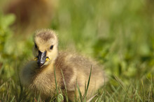 Young Canada Goose Gosling Fee...