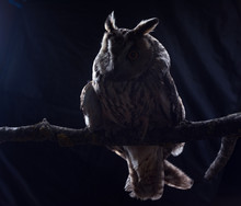 Eared Owl Sitting On A Branch ...