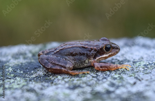 Photo Frog sitting on a stone in Scotland. Bufonidae, anura