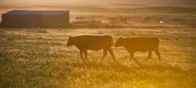 Silhouette Of Cows In Pasture On Cattle Ranch In Rural Montana USA On Small Hobby Farm At Sunset Horizontal Format Room For Type